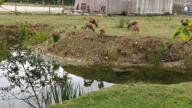 Several rare breed sheep grazing by a pond at Springbridge Farm