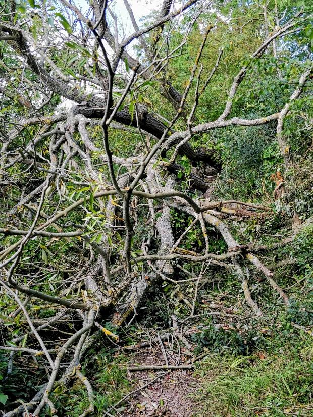 Large fallen tree blocking footpath